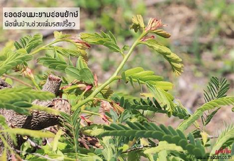 ยอดอ่อนมะขามอ่อนยักษ์ พืชพื้นบ้านช่วยเพิ่มรสเปรี้ยว สำนักพิมพ์แม่บ้าน