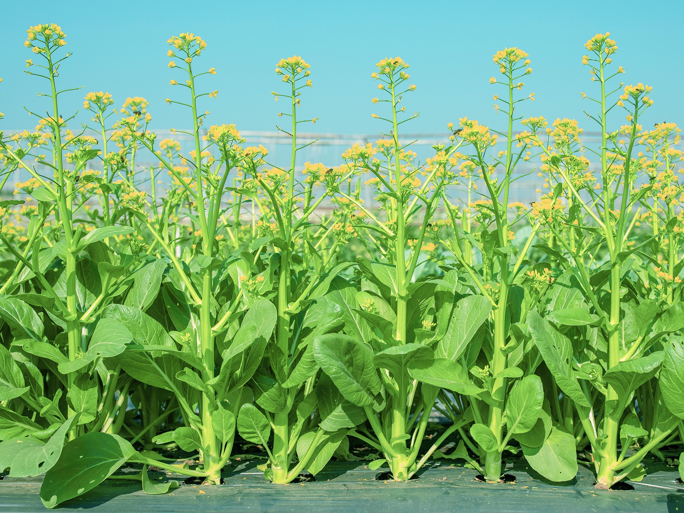 เจียไต๋ชวนปลูกกวางตุ้งดอกลูกผสมสายพันธุ์แรกของไทย ใช้เมล็ดน้อยลง ได้ผลิตผลเพิ่มขึ้นกว่าเท่าตัว สำนักพิมพ์แม่บ้าน
